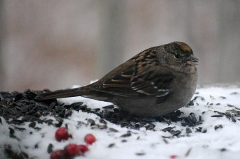 This Golden-crowned Sparrow was present throughout the winter reporting period at a feeder in Sioux Lookout, Kenora District, Ontario. Photographed here on 2 Jan 2021. Photo © Laurel Wood.