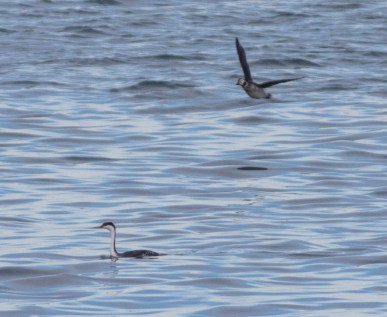 This Western Grebe located offshore of Florence, Cape Breton Island, NS 1 Feb remained through 22 Feb. Here photographed 22 Feb 2021. Photo © David McCorquodale.