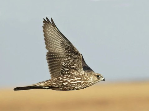 A very rare find at the southern limits of the occasional Gyrfalcon range in the Southern Great Plains, a gray-morph juvenile was noted in the tallgrass prairie areas of Osage Co, Oklahoma, 23 Dec 2020, and 2 and 13 Feb 2021, more than likely the same bird. Photos © Steve Metz (a & c) and Ken Williams (b).