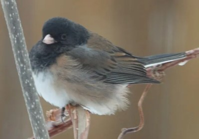 """Dark-eyed Juncos winter in small numbers in southern Manitoba, with the vast majority being """"Slate-colored"""". """"Oregon"""" Dark-eyed Juncos are very rare at this season and frequently mis-identified. This bird was at Winnipeg 27 Feb 2021. Photo © Randy Mooi."""