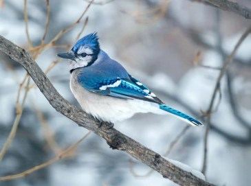 Winter observations of Blue Jay were widespread in both Idaho and western Montana during the winter of 2020–2021. This one was in Ravalli Co, Montana 14 Feb 2021. Photo © Estelle Shuttleworth.