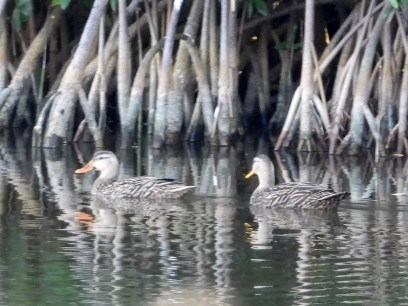 Two Mottled Ducks seen at West End, Grand Bahama on 20 Dec provided the second record for the Bahamas—perhaps the same pair from a nearby location in 2019. Photographed here on 5 Dec 2020. Photo © Martha Cartwright.