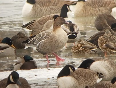 Now a regular fall and spring vagrant in the province of Québec, this Pink-footed Goose (here 23 Dec 2020) lingered at Chambly in the company of Canada Geese 14–24 Dec 2020, providing a new record departure date for the province of Québec. Photo © Jay Vandergaast.