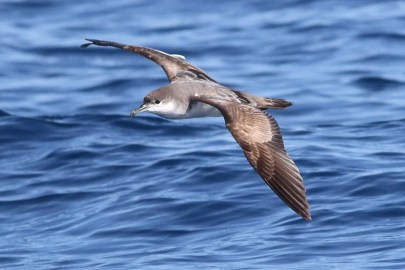 The first Buller's Shearwater photographed in Baja California Sur was this one south of Cabo San Lucas. 17 Dec 2020. Photo © Mark L. Hoffman.