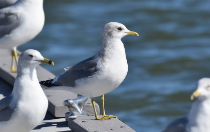 One of several Mew Gulls found across New Mexico in winter 2020–2021, this individual appeared at Elephant Butte Lake, here photographed 11 Jan 2021. Photo © Jack Parlapiano.