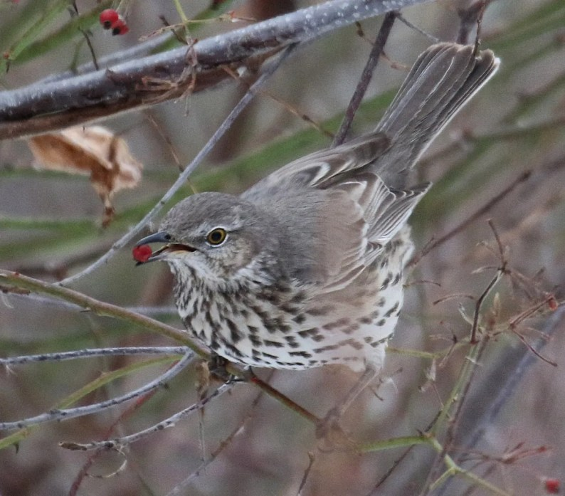 This Sage Thrasher settled in for a long stay at Hinsdale, Cheshire Co, New Hampshire, where it was found on 19 Dec 2020 (here 20 Dec). It stayed through at least 6 Feb 2021. Photo © Steve Mirick.