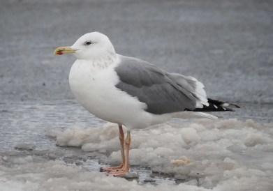 Unexpected and exceptional this Lesser Black-backed Gull ssp. taimyrensis was in New Glasgow, Pictou, NS 4–11 Jan 2021. Here photographed 4, 5 and 7 Jan 2021. Photos © Angela MacDonald.