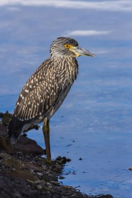 This juvenile Yellow-crowned Night-Heron was photographed at Havre aux Maisons in Les Îles de la Madeleine 31 Jul 2020, providing the province with its 15th record. Photo by © Brigitte Arseneau.