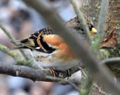Alberta's sixth Brambling was present at Banff for just one day (17 Jan 2021) and was seen by the photographer only. Photo © Bob Smith.