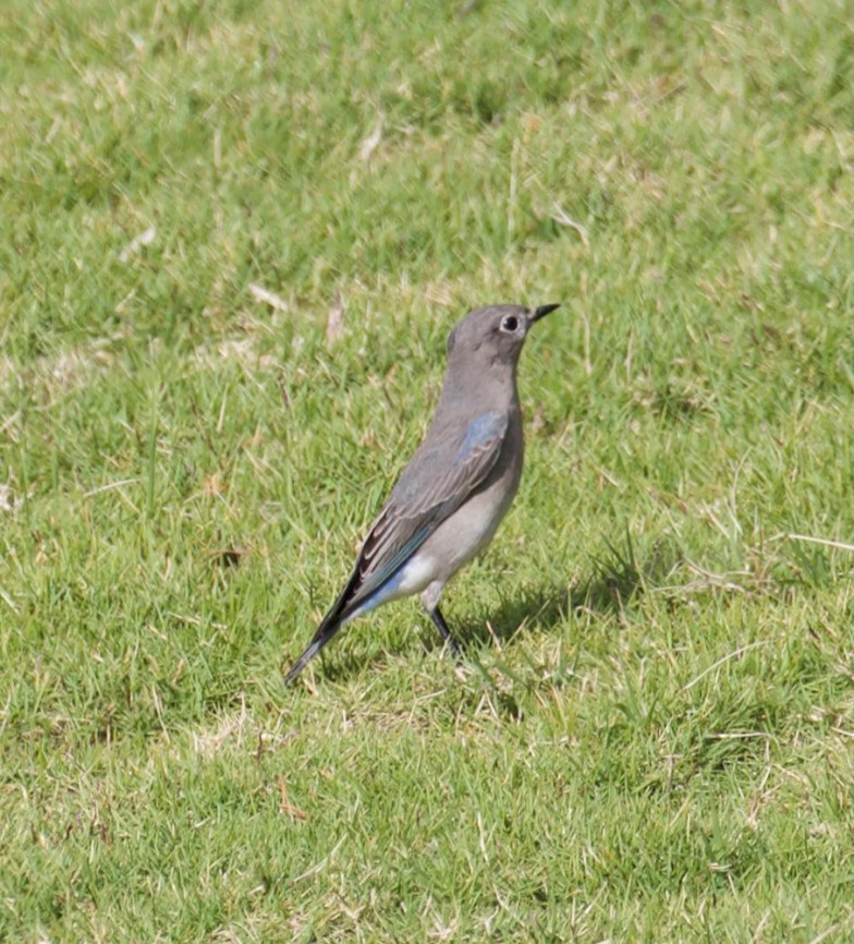 Ingela Perrson's series of photos helped to confirm Bermuda's first record of Mountain Bluebird discovered by Andrea Webb. Present from 24 Feb into March, it was photographed here at Port Royal GC on 26 Feb 2021. Photo © Ingela Perrson.