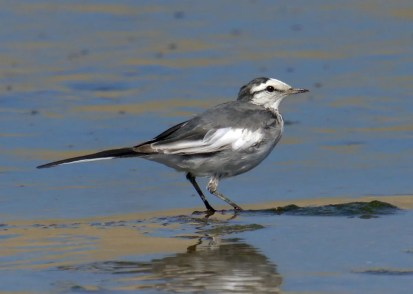 This White Wagtail, photographed on 1 Mar 2021, was along the Los Angeles River in Vernon, Los Angeles Co, California 27 Feb–21 Mar 2020. The extent of white on the wings indicates that it was of the black-backed subspecies lugens. Photo © Curtis A. Marantz.