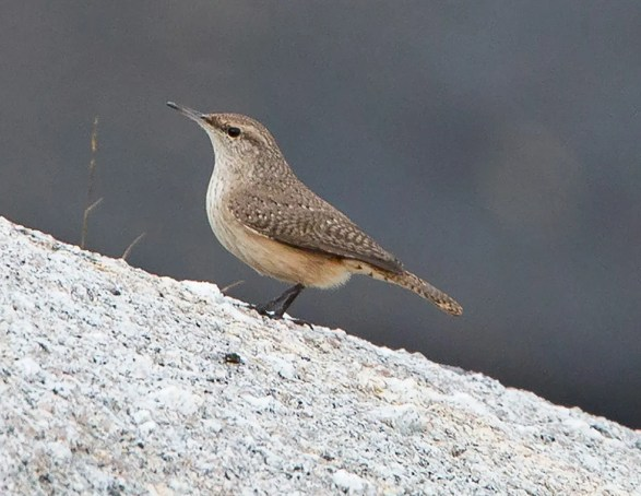 Discovered by Peter Shelton at the Chebucto Lighthouse, Halifax 4 Dec this Rock Wren lingered for three days and provided NS with its third record of the species. Here photographed 4 Dec 2021. Photos © Peter Shelton.