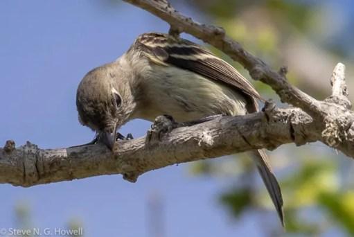 More Least Flycatchers were reported from the Baja California Peninsula in autumn 2020 than in any other year since 2011. This one at El Rosario, Baja California, posed especially well. 24 Oct 2020. Photo ©Steve N. G. Howell.