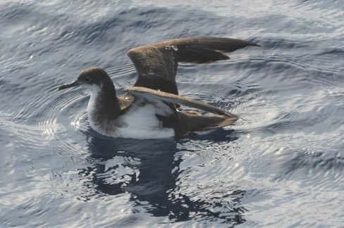 Manx Shearwater passage past Bermuda begins in February. A fishing trip to Sally Tucker's off the southwest coast of Bermuda provided this photo opportunity on 11 Feb 2021. Photo © Luke Foster.