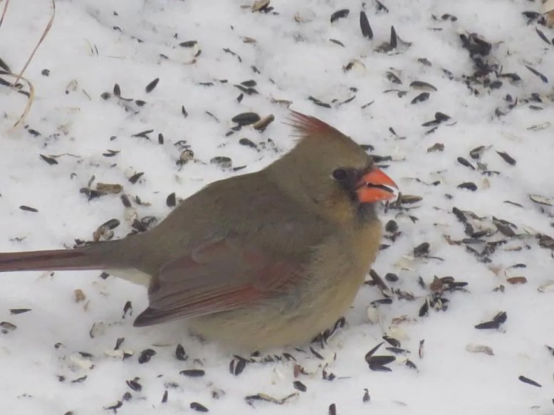 This Northern Cardinal at Kitscoty, west of Lloydminster, Alberta, here on 21 Jan 2021, was well northwest of its usual range. Photo © JoAnn Aman.
