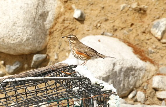 One of eight Redwings to visit Nova Scotia, this individual was photographed aon Crow's Neck Beach, 13 Feb 2021. Photo © Mark Dennis.