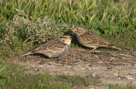 This female Thick-billed Longspur (right), photographed on 21 Mar 2021, remained with two Chestnut-collared Longspurs on Fiesta Island in San Diego's Mission Bay, San Diego Co, California 31 Oct 2020-7 Apr 2021. Amongst other features, the large pink bill differs from the darker and noticeably smaller bill on a Chestnut-collared Longspur, and the face pattern, along with the noticeably shorter wings differentiate it from a Lapland Longspur. Photo © Curtis A. Marantz.