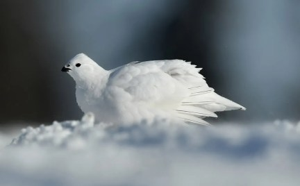 Willow Ptarmigans irrupted in large number this winter 2020-2021 in the Abitibi region, province of Québec. This bird was photographed at Lebel-sur-Quévillon 29 Dec 2020. Photo © Raymond Ladurantaye.