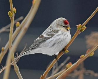 Hoary Redpolls showed up every day in southern Québec during winter 2020–2021. This splendid bird was photographed at Saint-Constant 15 Feb 2021. Photo © Sylvain Cardinal.