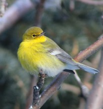 Pine Warblers rarely occur in Montana in any season; a male remained in Susan Hovde's yard in Red Lodge, Carbon Co 29 Nov 2020–7 Feb 2021. Photo © Susan Hovde.