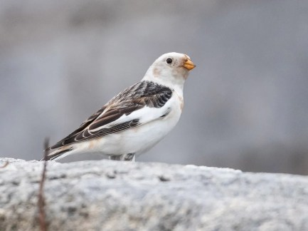 A single Snow Bunting at Fort St. Catherine from 15 Jan–22 Feb was the only one to be recorded in Bermuda during the winter season. Photographed here on 14 Feb 2021. Photo © LeShun Smith.