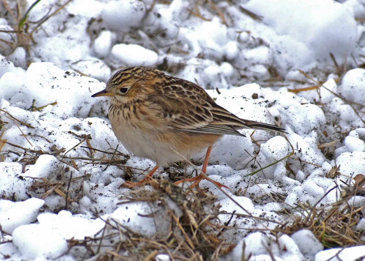 Wisconsin's first Sprague's Pipit was a New Year's surprise—a bird well north of its core wintering area in the south-central U.S. and north-central Mexico. It was seen only on 1 Jan 2021 in Ozaukee Co. Photo ©Alexander and Brad Steger.