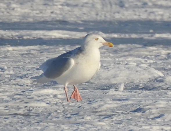 While Glaucous Gulls linger not infrequently into December in the south of the Prairie Provinces, mid-winter sightings, such as this bird at Wabamun Lake, Alberta 21 Jan, are rare. Photo © Paul Brown.
