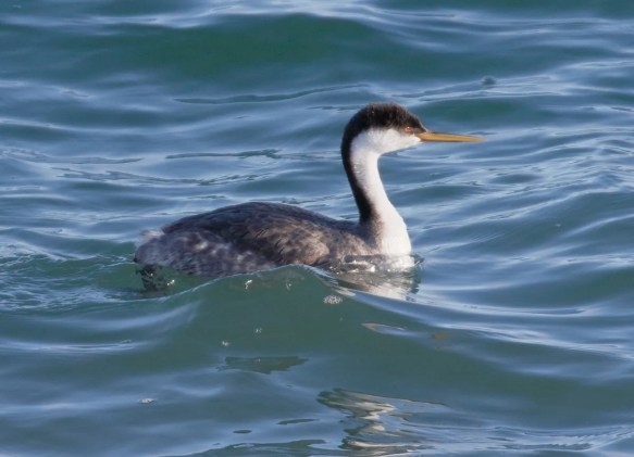 This Western Grebe was photographed at Grande-Rivière, Gaspésie 13 Feb 2021, providing a first winter record in the province of Québec, probably the consequences of a very mild winter. Photo © Albini Couture.