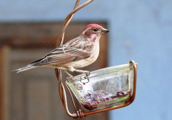 Cassin's Finch had been recorded only twice inBaja California Surbefore 2020. At Loreto, this was the southernmost of at least four found this year. 21 Nov 2020. Photo © Suzanne Hall.