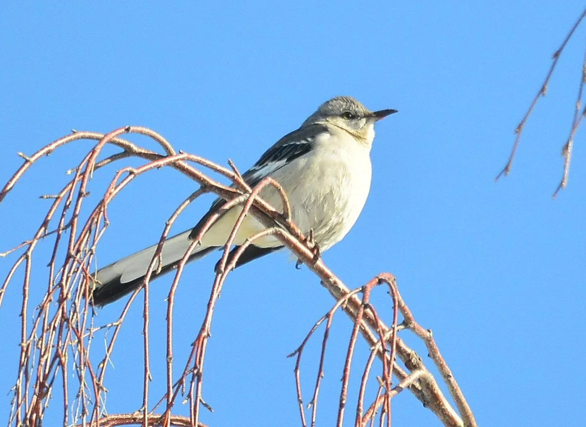 This cooperative Northern Mockingbird wintered at Okotoks, Alberta, where it was enjoyed by many—here on 19 Feb 2021. Photo © Gerry Fox.