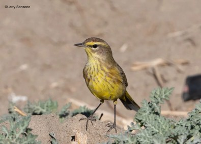 This obliging Palm Warbler, photographed on 19 Dec 2020, remained at the Community Gardens in the Tijuana River Valley, San Diego Co, 29 Nov 2020–18 Apr 2021. The yellow underparts clearly show it to be of the subspecies hypochrysea, normally confined to the Southeastern United States and the Caribbean in winter and with very few recorded in California. Photo © Larry Sansone.