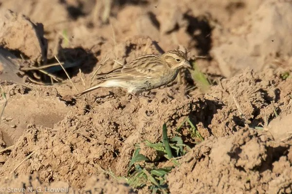 This Chestnut-collared Longspur atVizcaíno 22–23 Octestablished only the fifth record forBaja California Sur.22 Oct 2020. Photo ©Steve N. G. Howell.
