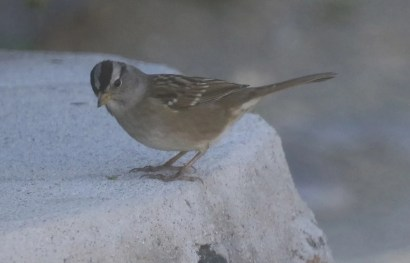 The White-crowned Sparrow subspeciesgambeliiandorianthawinter commonly in the Baja California Peninsula, but a third subspecies,pugetensis, has been reported only a few times and only from the northwest coast of Baja California. This apparentpugetensisWhite-crowned Sparrow was far south atBahía Asunción, Baja California Sur.28 Oct 2020. Photo ©Logan Q. Kahle.