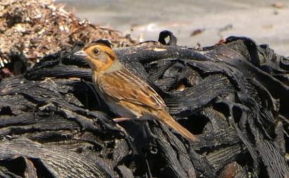 This Nelson's Sparrow, the first for Baja California Sur, was on the beach atBahía Asunción, far from its typical saltmarsh habitat.21 Oct 2020. Photo ©Robert A. Hamilton.