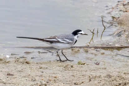 This White Wagtail, believed to be of the ssp. ocularis, was seen sporadically on the Santa Ana River in Anaheim, Orange Co 1-7 Feb and well photographed on 3 Feb 2017. Photo © Jeff Bray.