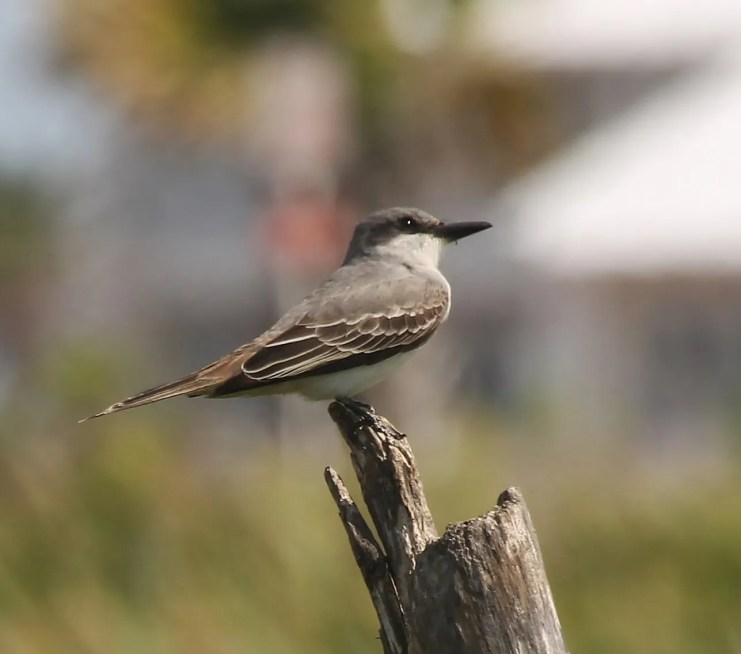 Always a migration hotspot in Texas, this Gray Kingbird was a highlight this spring in South Padre Island, Cameron Co, TX on 23 May 2021. Photo © Tripp Davenport.
