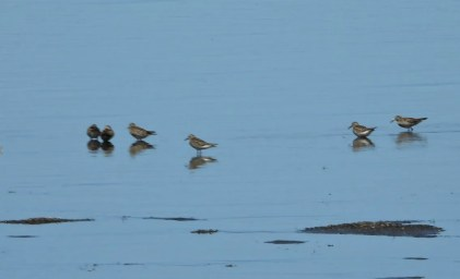 Seven White-rumped Sandpipers were seen at Harriman State Park, Fremont Co, Idaho on 30–31 May 2021. Photo © Marsha Walling.
