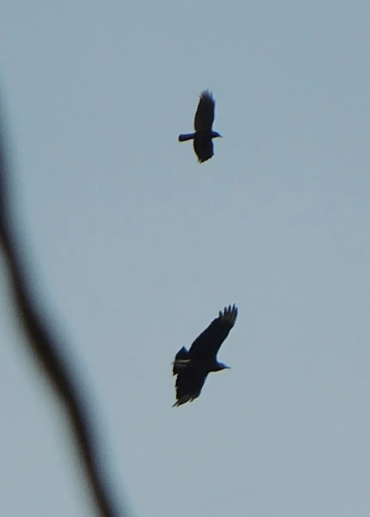 Oregon finally got its first Black Vulture over Gold Beach, Curry Co 17 May. A missing primary on the left wing identifies this as the same individual that frequented Klamath River Mouth in northern California 14–17 Apr 2021. Photo © Whitney Michaelis.