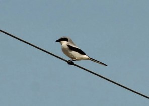 Rare outside the 2 breeding strongholds in Ontario, this Loggerhead Shrike was Lambton Co's first record in many years but only seen 13 Jun, 2017. Photo © Deryl D. Nethercott.