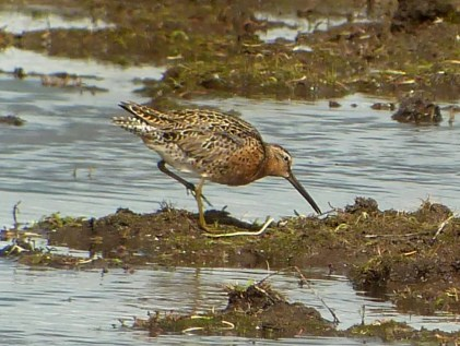 Short-billed Dowitchers were observed in several areas this spring; this individual was spotted on 8 May 2021 in a group of approximately 20 Long-billed Dowitchers at the west end of Island Park Reservoir, Fremont Co, Idaho. Photo © Cliff Weisse.