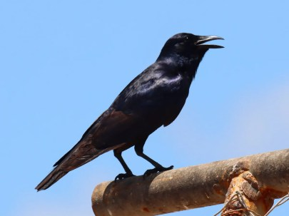 After an absence of a decade Tamaulipas Crows have become an occasional visitor to Brownsville, Cameron Co, Texas 07 May 2021. Photo © Greg Cook