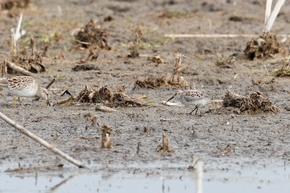 single Western Sandpiper, seen with a Pectoral Sandpiper on the left, was a one-day wonder at Michigan's Erie Marsh Preserve, Monroe Co on 28 Apr 2021. Photo © Geoff Malosh.