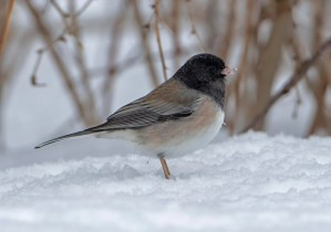 One of two Dark-eyed (Oregon) Juncos present in Connecticut, this adult male found in February remained at a feeder in Chaplin, Windham Co, through 22 Mar 2021. Photo © Mark Szantyr.