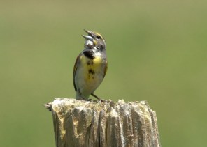 The singing male Dickcissel depicted here at Wilkesport, Lambton Co18 Jun, 2017 was among a large influx into Ontario this summer.Photo © Blake A. Mann.