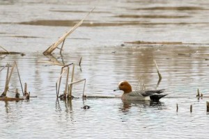 One of three Eurasian Wigeons to grace Wisconsin this spring, this one was photographed from a kayak on the Kewaunee River, Kewaunee Co on 3 Mar 2021. Photo © Brian Reinke.