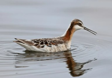 This gorgeous female Wilson's Phalarope was photographed at Baie-du-Febvre, Québec on 8 May 2021. More than 50 birds were reported this spring in the province. The severe drought in the prairie provinces may have been responsible for a more easterly migration pattern of this species. Photo © Daniel Jauvin.
