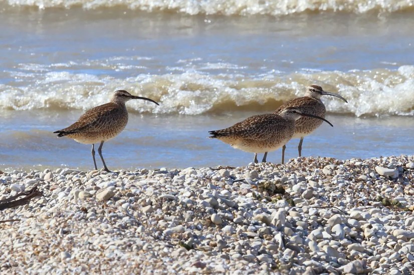 Sandy Bar IBA on Lake Winnipeg, Manitoba, is one of the few locations in the south of the province where Whimbrels stop over with any regularity during the spring migration. These three birds were present on 25 May 2021. Photo © Bob Shettler.