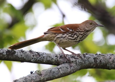 Casual to PEI, this Brown Thrasher, in the yard of Dwaine Oakley in Stratford, Queens Co, Prince Edward Island 26 May 2021, was likely the individual observed intermittently in the Stratford area since 10 May 2021. Here photographed 26 May 2021. Photo © Dwaine Oakley.