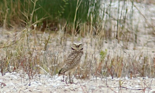 Representing Wisconsin's 15th record, this Burrowing Owl was found on the Cat Island Causeway in Green Bay, Brown Co 24–25 Apr 2021. It was photographed here on the 24th. Photo © Tom Prestby.