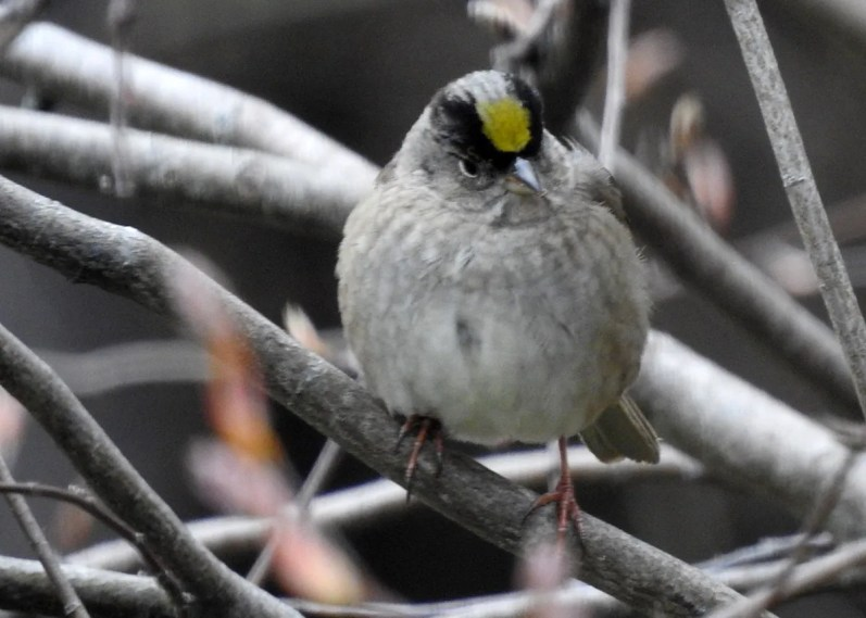 Caption 16. This Golden-crowned Sparrow was an accidental visitor in the yard of Rick Elliot in Waterside, Albert Co, New Brunswick 2 May 2021. Here photographed 2 May 2021. Photo © Rick Elliot.